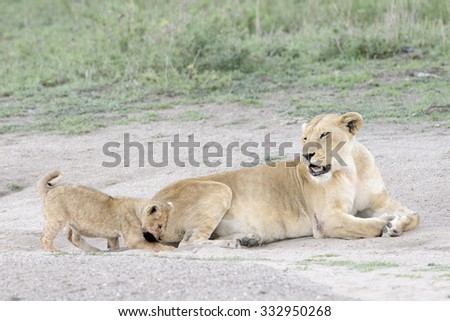 Lion cub (Panthera leo) playing with tail from mother, Serengeti national park, Tanzania. - stock photo
