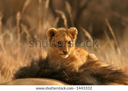 Lion cub (Panthera leo) sitting on the head of his father, South Africa - stock photo