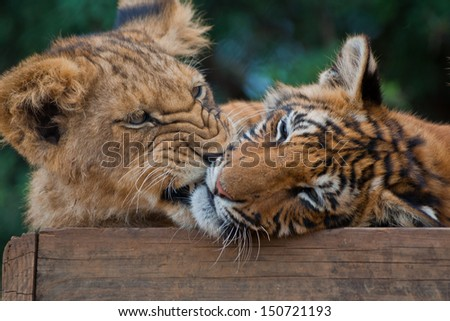 Playing Tiger Cubs Stock Images, Royalty-Free Images ...