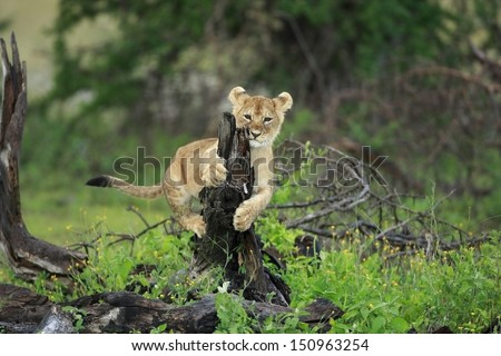 Lion cub play on little tree - stock photo