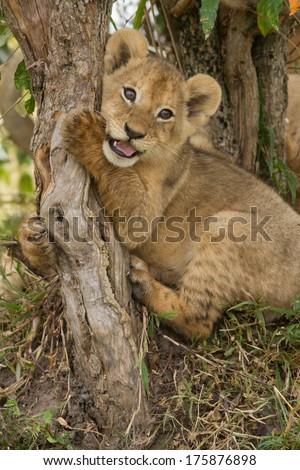 Lion cub playing with a branch (Panthera Leo), Masai Mara, Kenya - stock photo