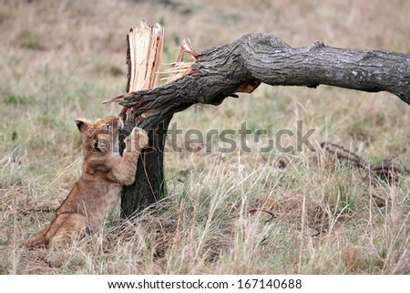 Lion cub playing with broken tree in the Masai Mara reserve in Kenya Africa - stock photo
