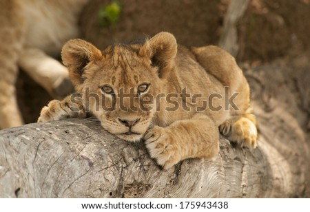 Lion Cub Resting on Tree Branch - stock photo