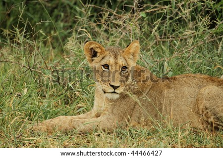 Lion cub side glance