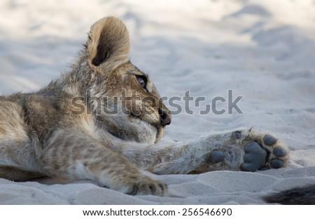 Lion Cub Siesta Stare - stock photo