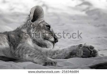 Lion Cub Siesta Stare, desaturated - stock photo