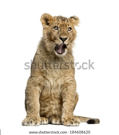 Lion cub sitting and yawning - stock photo