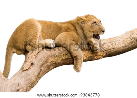 Lion cub sitting on a branch- isolated on white background - stock photo