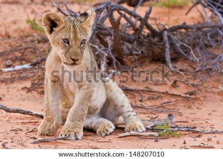 Lion cub sitting on the sand and looking at other - stock photo