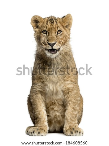 Lion cub sitting,smiling and looking at the camera