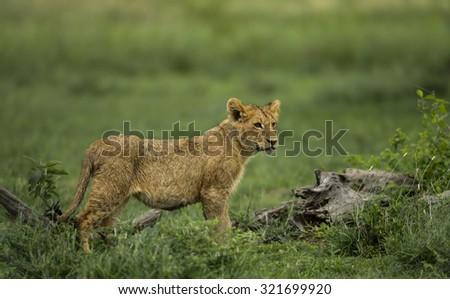 Lion cub standing, Serengeti, Tanzania - stock photo