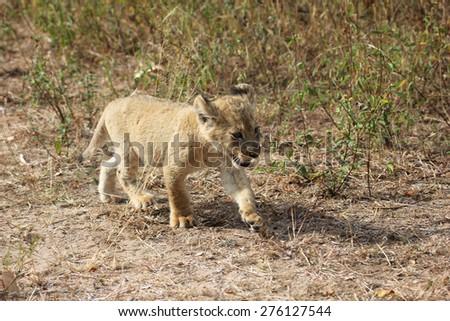 Lion cub walking in the bush - stock photo