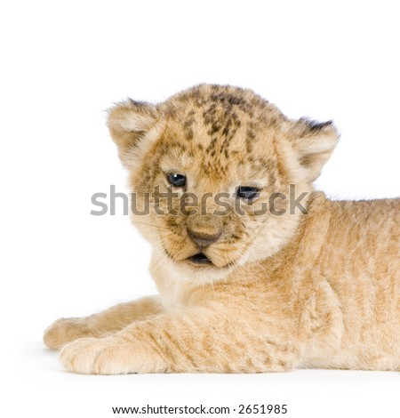 Lion Cub (3 weeks) lying down in front of a white background. All my pictures are taken in a photo studio. - stock photo