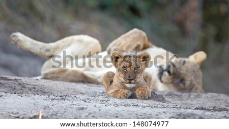 Lion cub with Lioness