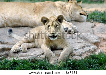 Lion Cub with mother - stock photo