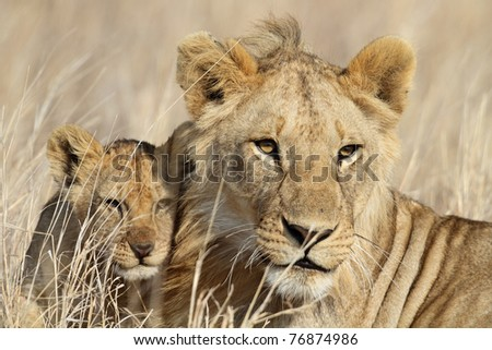Lion cub with young male babysitter, Serengeti National Park, Tanzania, East Africa
