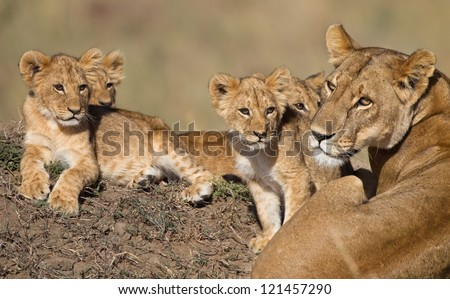 Lion cubs (babys) and Mama in Africa - stock photo