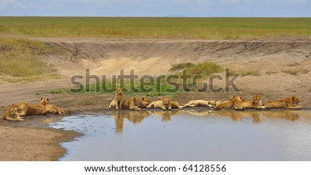 Lion cubs by a pond. Serengeti National Park, Tanzania - stock photo