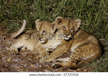 Lion cubs in morning sun