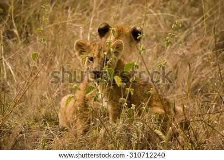 Lion Cubs in Nairobi National Park Kenya - stock photo