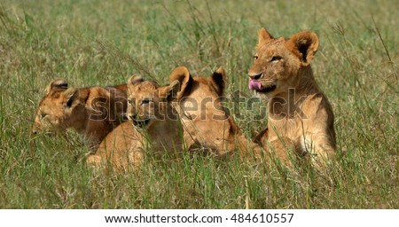 Lion cubs (Panthera leo) on the African savannah. Photograph taken on the Masai Mara Preserve on Kenya, which is part of the larger Serengeti ecosystem.