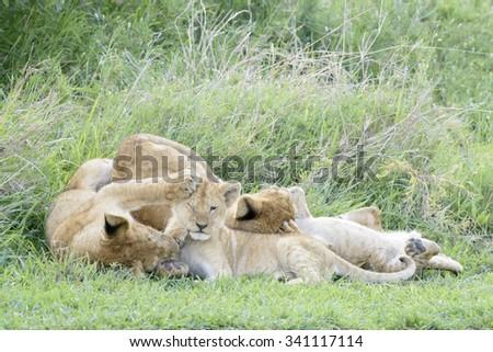Lion cubs (Panthera leo) playing on the savanna, Serengeti national park, Tanzania. - stock photo