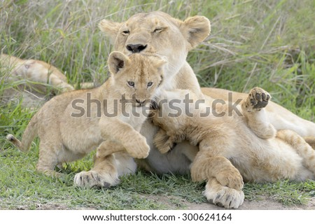 Lion cubs (Panthera leo) playing with mother on the savanna, Serengeti national park, Tanzania. - stock photo