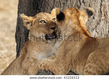 Lion cubs play-fighting, Serengeti, Tanzania