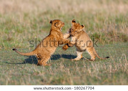 Lion cubs playing after a good breakfast in Masai Mara, Kenya - stock photo