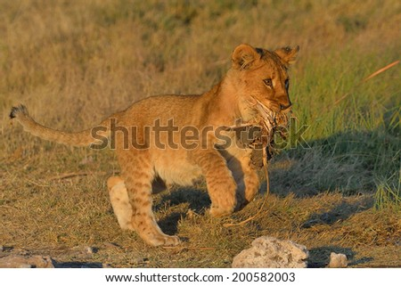 Lion cubs playing in Etosha National Park, Namibia