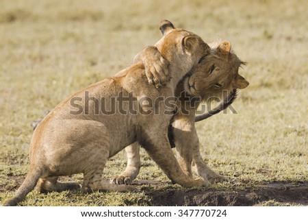 Lion cubs playing in the Masai Mara in Kenya - stock photo