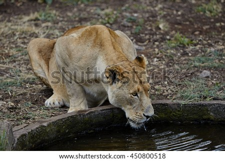 Lion drinking water