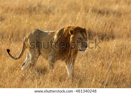 Lion during morning hours at Masai Mara