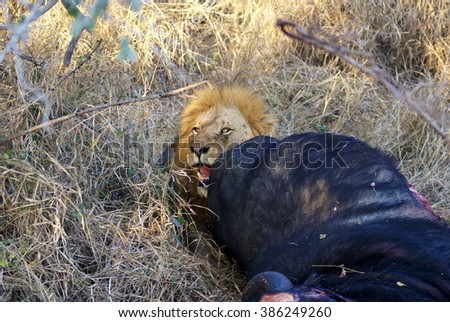 Lion eating a cape buffalo kill in Kruger Park, South Africa