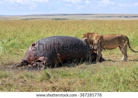lion eating a hippo at the masai mara national park kenya - stock photo