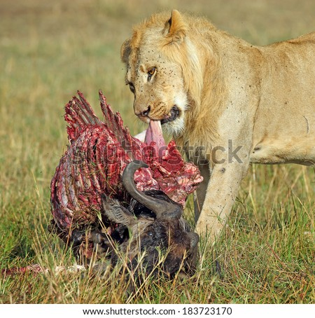 Lion eating  feasting on wildebeest  - stock photo