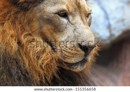 Lion face - stock photo