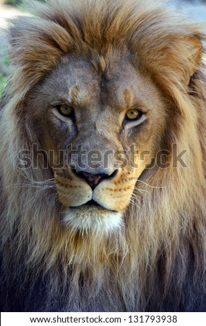Lion face (front look close up) in it's natural environment. - stock photo