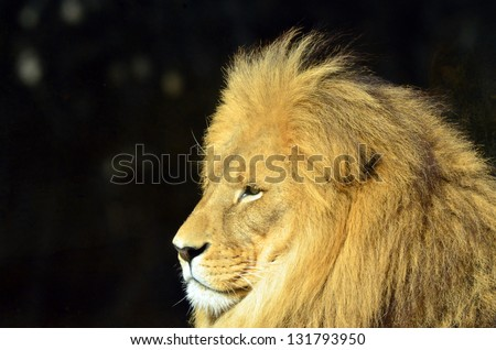 Lion face (side look close up profile) in it's natural environment. - stock photo