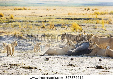 Lion family kill and eat a baby elephant