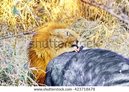 Lion feeding on a cape buffalo kill in Kruger National Park - stock photo