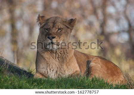 lion female