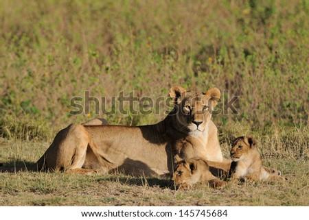 Lion female with young cubs, Masai Mara, Kenya - stock photo