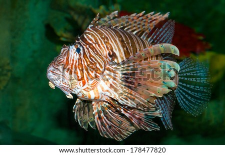 Lion fish in aquarium with green background  - stock photo