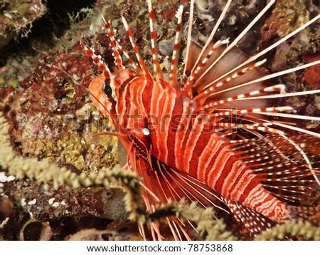 Lion Fish in Maldivian coral reef - stock photo