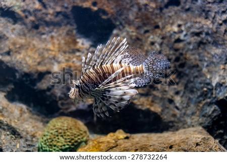 lion fish (Pterois volitans) - stock photo