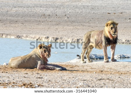 Lion following a hunt in the Etosha National Park, Namibia.