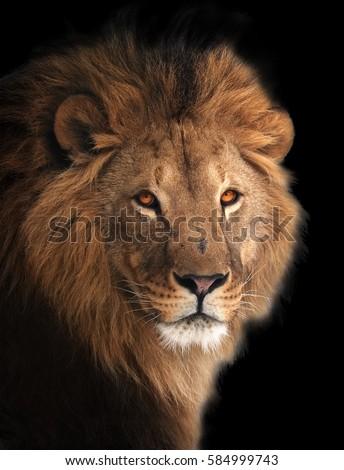 lion stock images royaltyfree images amp vectors