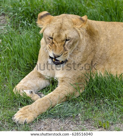 Lion having a rest on green grass and having a look as if it dissatisfied with something