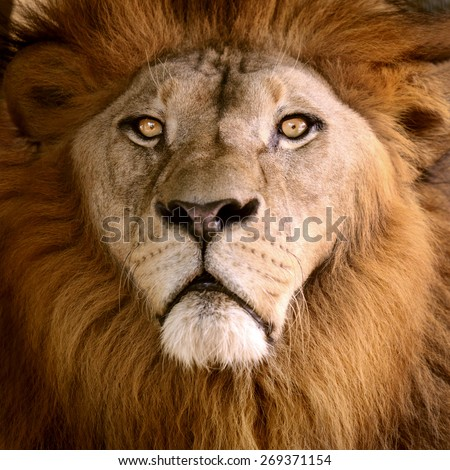 Lion head close to beauty face and hair